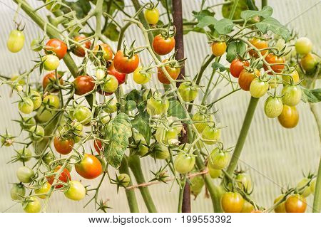 Homegrown cherry tomatoes in garden. Tomatoes ripening in a greenhouse