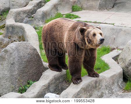 Eurasian brown bear (Ursus arctos arctos) also known as the European brown bear.