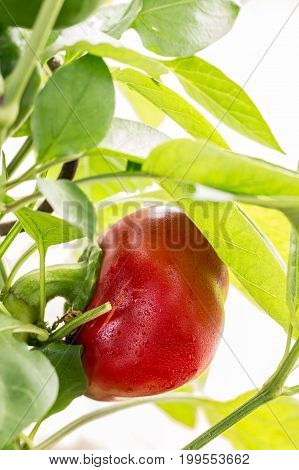 ripe red bell pepper in a greenhouse.Healthy food concept
