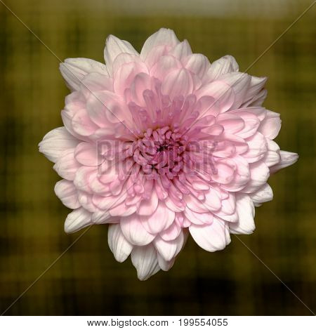 Top View And Close Up Image On Orange Chrysanthemum In The Design Of Natural Dark Tones Background
