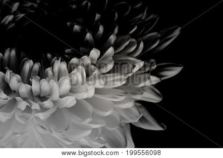 Top View And Close Up Image On Pink Carnation On Black Background. Copy Space Texture Background