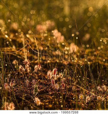 A beautiful great sundew growing on the marsh ground in morning light. A beautiful summer sunrise scenery.