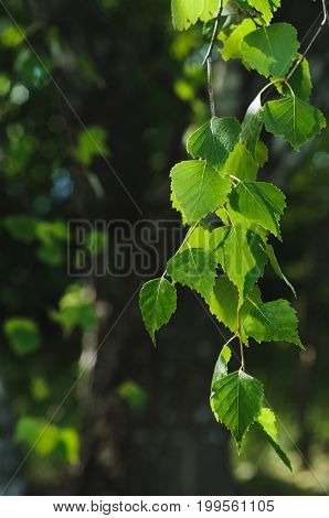 Green Background Made Of Birch Twigs And Leaves