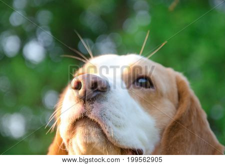 Dreamy thoughtful beagle puppy in the rays of sun light (selective focus on the puppy nose)