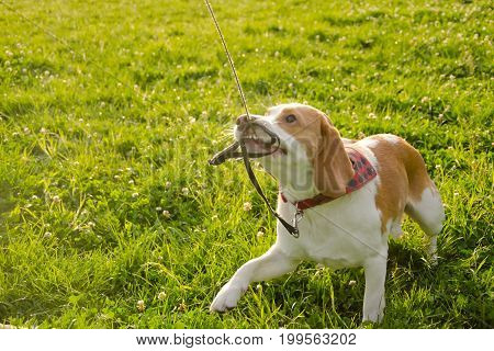 Playful beagle puppy misbehaving and pulling its leash with its teeth (selective focus on the puppy eyes)