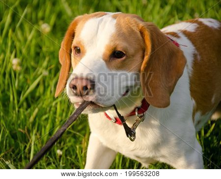 Stubborn beagle puppy misbehaving and pulling its leash with its teeth (selective focus on the puppy eyes)