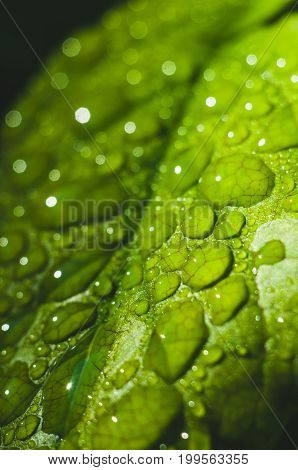 Water Drops Close Up On Green Leaves Of A Tree. Macro Photo