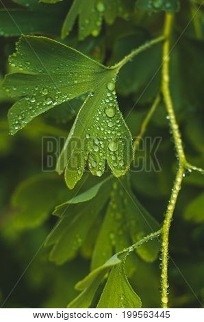 Water Drops Close Up On Green Leaves Of A Ginkgo Tree