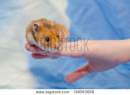 Funny cute Syrian hamster sitting on a human hand (against a bright blue background) selective focus on the hamster