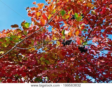 Closeup on Ruby Red colored Autumn Leaves of Black chokeberry (Aronia melanocarpa)