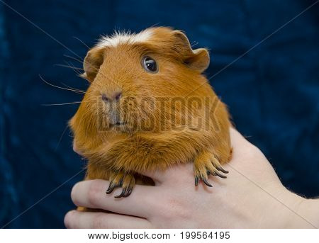 Funny curious guinea pig in a human hand (on the dark blue background)