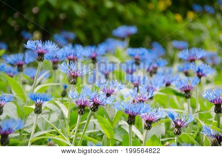 Bright blue cornflowers as a beautiful floral background