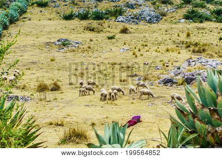 View on maya nomad with sheep herd by Todos Santos Cuchumatan in Guatemala