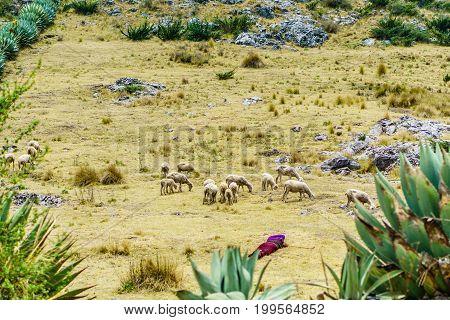 View on maya nomad with sheep herd by Todos Santos Cuchumatan in Guatemala