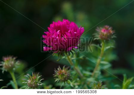 A flower of Aster (Symphyotrichum novae-angliae) in the garden.