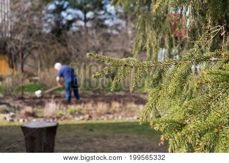 Close up of spruce branch and cottager digging the plot in the background. Summer vacation in the country, village, countryside, hamlet, dacha.