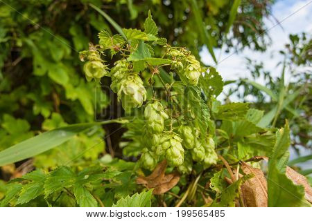 Fruits of hops (Humulus) in the nature.