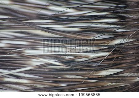 Macro shot of porcupine quills as an abstract needle background