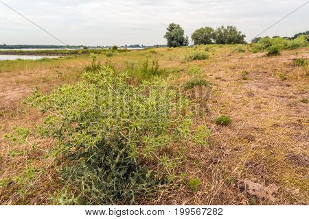 Large field eryngo or Eryngium campestre plant growing in the wild nature at the banks of a Dutch river. It is a cloudy day in the summer season.