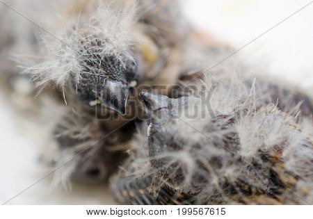 Two baby Zebra Finches in a nest view from above (shallow DOF selective focus on the baby bird heads)