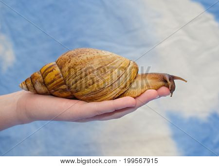 Giant African snail on a human hand (against a bright blue background)