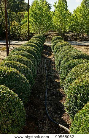 Rows of round decorative bushes and a watering hose on the ground