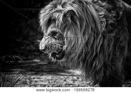 Fierce male African lion growling and showing its teeth (in black and white retro style)