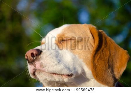 Dreamy thoughtful beagle puppy with its eyes closed (selective focus on the puppy nose)