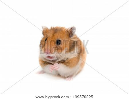 Cute Syrian hamster sitting on its hind legs with a funny expression (isolated on white)