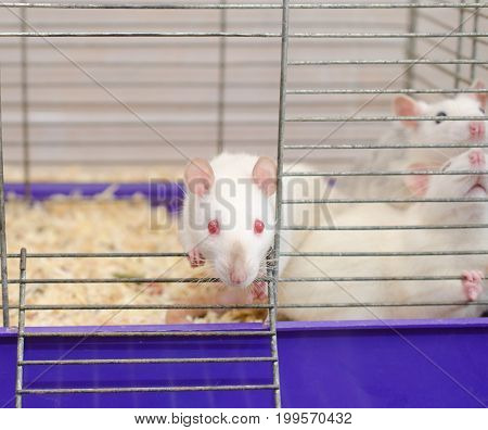 Curious white laboratory rat looking out of a cage with other rats (selective focus on the rat eyes and nose)