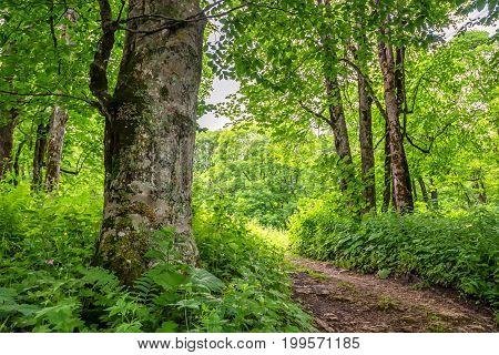 Road going through beautiful forest with giant spuces and pines and lush folliage in front