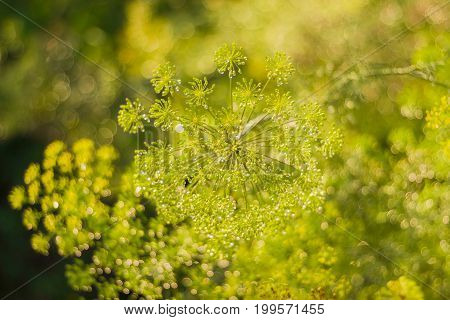 Umbel inflorescence of dill with droplets of dew closeup at shallow depth of field on blurred background