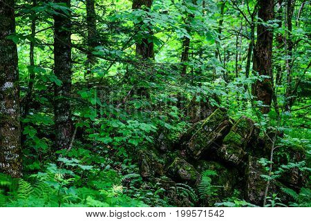 Road going through beautiful forest with mossy trunks and roots of giant spuces and pines and lush fern folliage in front