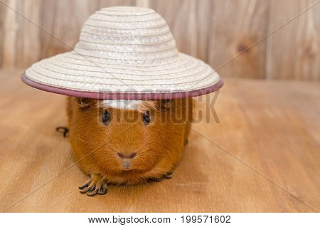 Funny guinea pig wearing a big hat (on a wooden background with copy space on the right) selective focus on the hat and guinea pig eyes