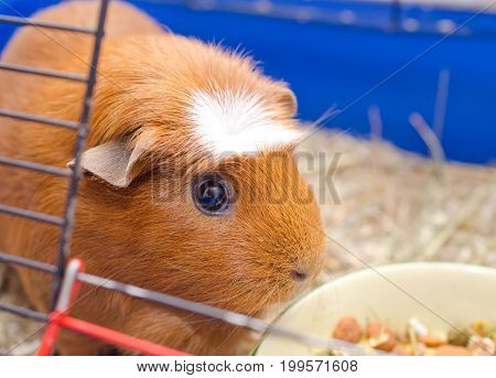 Cute guinea pig near a bowl with food in a cage (selective focus on the guinea pig eyes)
