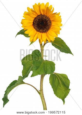 Sunflower with stem isolated on white background