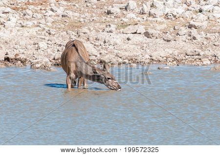 A greater kudu cow Tragelaphus strepsiceros drinking water in a waterhole in Northern Namibia