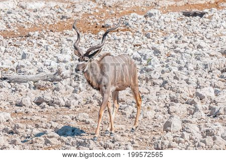 A greater kudu bull Tragelaphus strepsiceros walking between white calcrete rocks in Northern Namibia