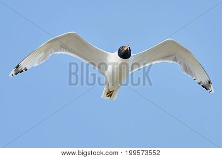 White seagull in flight against a blue sky