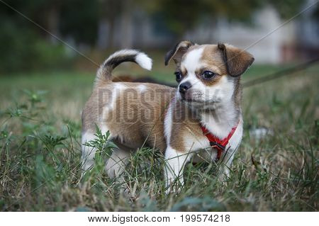 A small chihuahua dog walks in the clearing