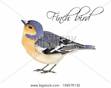 Vector realistic highly detailed illustration of finch bird isolated on white background. Design element for wedding, christmas, knowledge day or greeting card. Can be used for scrap book, copybook
