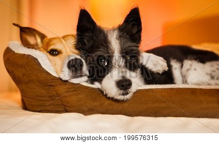 couple of dogs in love close and cozy together sleeping and relaxing on bed cuddling in embrace( low light photo) poster