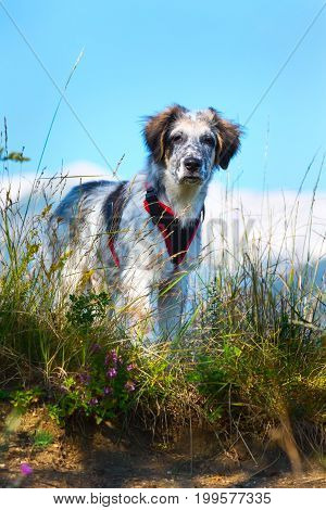 white and black fuzzy dog standing in green grass and high mountains at background, freedom travel concept, copy space