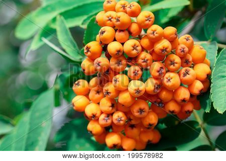 the berries of mountain ash on a branch on a background of green leaves