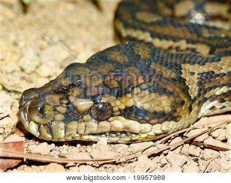 A Python found on Fitzroy Island of Queensland Australia. poster