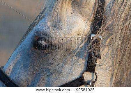 White horse's face closeup photo. Horse's eye macro.
