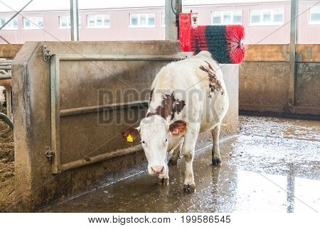 Cow farm producing milk curd cheese Cleaning equipment