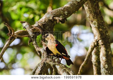Hangbird on a tree. Tarangire, Tanzania. Eastest Africa