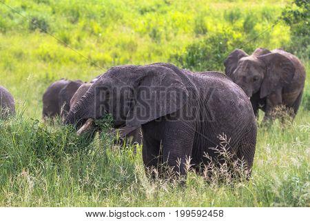 Portrait of elephants group. Tarangire, Tanzania. Eastest Africa