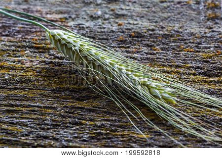Ears of wheat on old wooden surface rustic background retro style selective focus